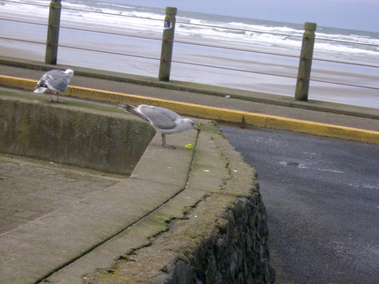 seagullpeep2