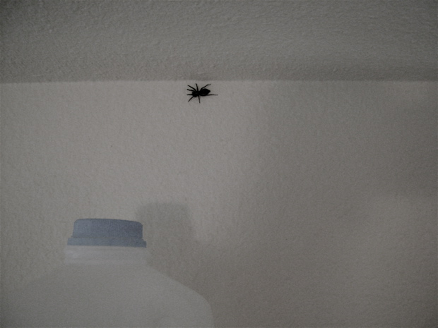 Mr. Spider (recently deceased) found near ceiling. Milk jug added for affect.