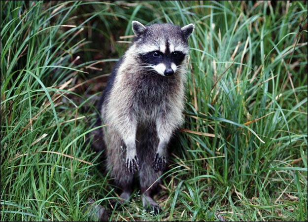 raccoon, au naturel